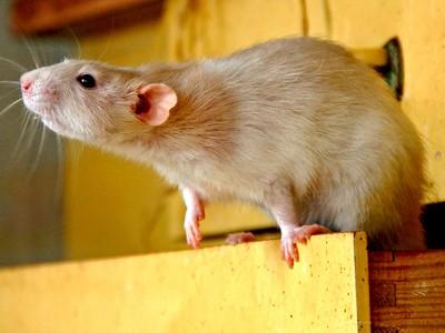 Ratten-Küche Rövershagen